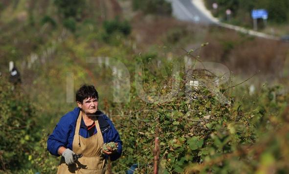 Bulgaria The Poorest Grape Harvest