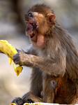 A Monkey Eats A Banana In Pushkar
