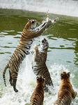 Siberian Tiger Park In Hailin City, China