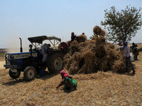 Farmers Harvest Wheat In Uttar Pradesh